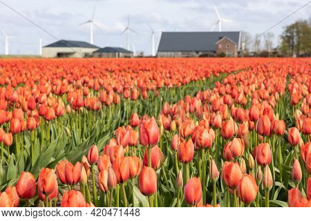 Dutch Orange Blooming Tulip Field With Farmhouse And Wind Turbines