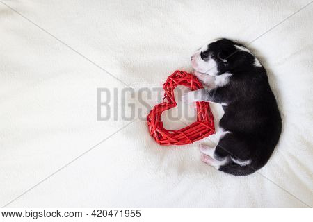 Cute Siberian Husky Puppy Sleeps With Red Heart On A White Fluffy Background. A Newborn Puppy On A L