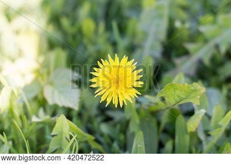Dandelion In Green Grass, Spring. Flowers, Nature