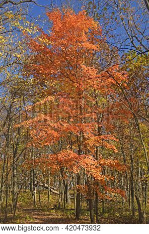 Orange Leaves Erupting In The Forest In Great River Bluffs State Park In Minnesota