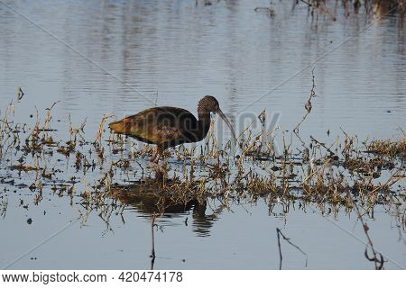 A Glossy Ibis Wading Through The Shallow Waters Of The Colusa National Wildlife Refuge, In The Sacra