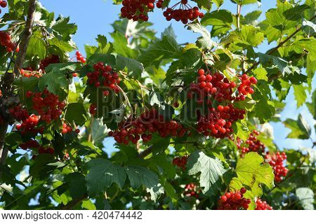 Ripen Red Berries Of Viburnum Bush In The Garden.
