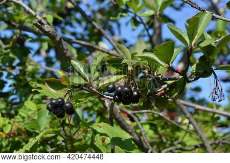 Ripen Black Berries Of Chokeberry Or Aronia Bush In The Garden.
