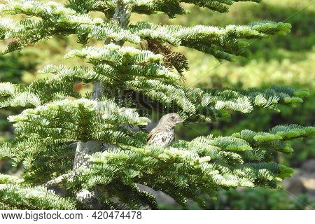 A Thick-billed Fox Sparrow Enjoying A Beautiful Day In The Mount Shasta Wilderness, In Siskiyou Coun