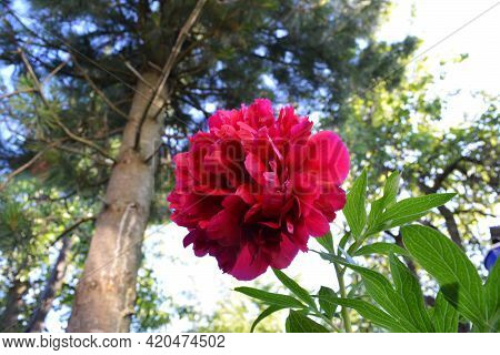 Beautiful Red Peony Flower In Spring Garden. View From Below
