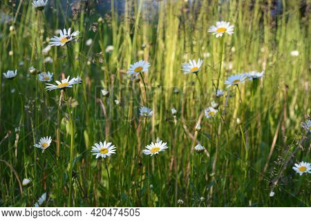 Summer Meadow With Flowering Daisies And Green Herbs