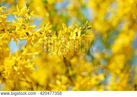 Blooming Forsythia In The Summer Against The Sky.
