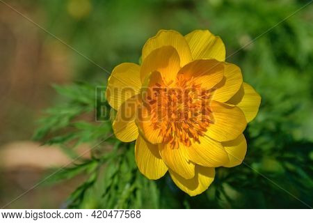 Blossom Of False Hellebore, Adonis Vernalis Medicinal Herb - Selective Focus.