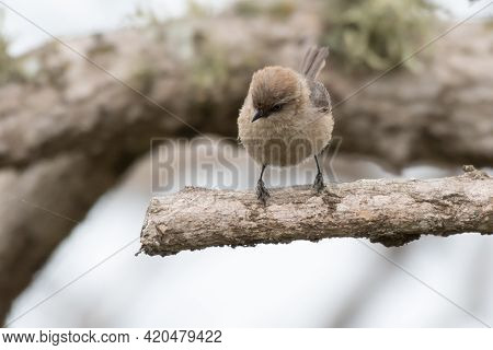Cute And Adorable Bushtit Bird Perches On Firm, Deadwood Branch While Keeping A Watchful Eye Out For