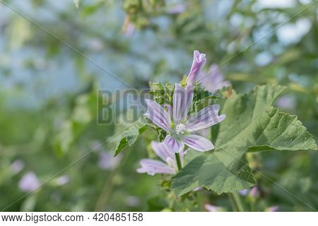 Flower And Leaf Of The Common Mallow Plant On A Sunny Day Outdoors