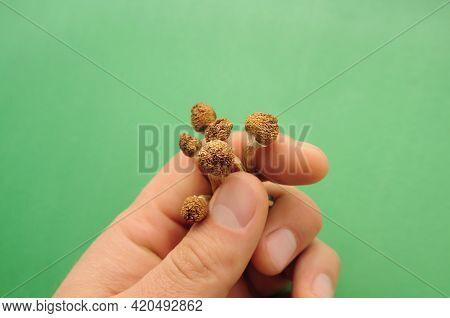 Psilocybe Cubensis Mushrooms In Man's Hand On Green Background. Psilocybin Psychedelic Magic Mushroo