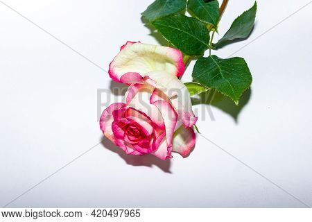 Pink Rose Isolated On White, Pink Rose On White Background, Pink Rose