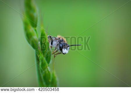 Closeup Of A Beatiful And Cute Red-girdled Mining Bee , Male Andrena Labiata, Hanging Onto A Blade O