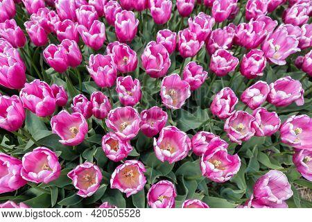 Top View Field Purple Tulip Flowers In The Netherlands