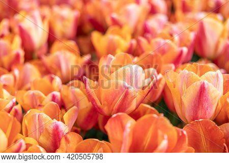 Top View Orange Tulip Flowers In The Netherlands
