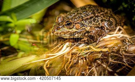 One Pool Frog Is Sitting On Leaf. Pelophylax Lessonae. European Frog. Beauty In Nature.