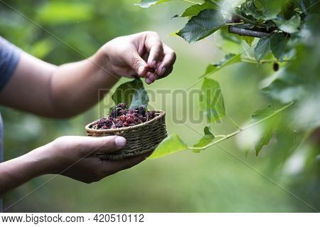 Mulberry With Farmer Hands And Fruit Make Mulberry Beer With Farmer Gia Lai, Vietnam
