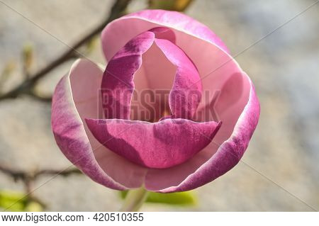 Beautiful Macro View Of Pink Chinese Saucer Magnolia (magnolia Soulangeana) Tree Blossoms Tepals And