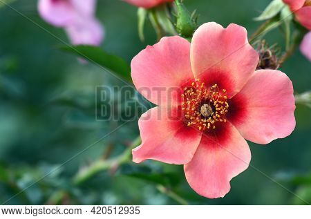 Pink And Red Flower Of The Single Rose Variety Bright As A Button. A Floribunda Type Of Cluster Rose