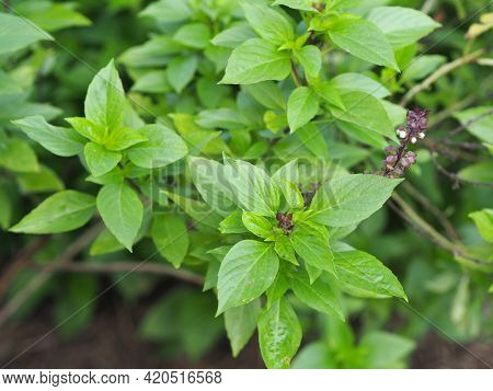 Sweet Basil Is Light Green With Wide Leaves While Thai Basil Has Purple Stems And Flowers And Spear-