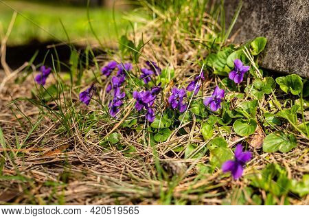 Wood Violets (viola Odorata) Blooming Near Concrete At Green Background. Decorative Sweet Violets At