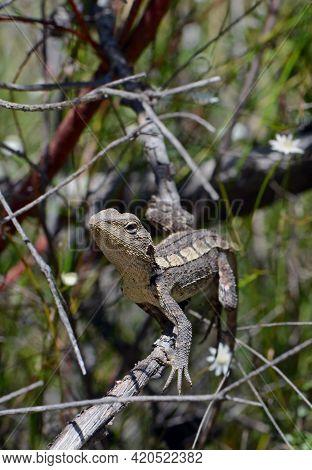 Australian Native Jacky Dragon Lizard, Amphibolurus Muricatus, Family Agamidae, On A Branch In Woodl