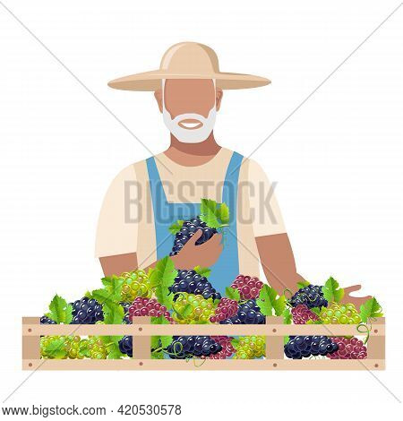 An Elderly Man In Work Clothes And A Sun Hat Harvests Grapes For Wine. Autumn Harvest Vector Illustr