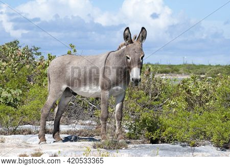 The Close View Of A Wild Donkey On Grand Turk Island (turks And Caicos Islands).