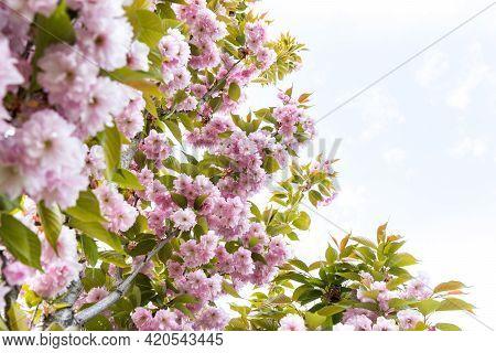 Pink Flowers On Blue Sky Background, Sakura Kanzan. Prunus Serrulata. Cerasus Serrulata. Sekiyama. J