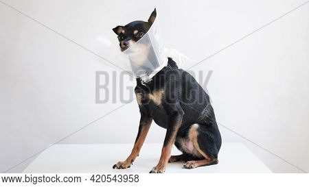 Small Black Toy Terrier Dog In Medical Collar For Animals Sits On Table In Veterinary Clinic Waiting