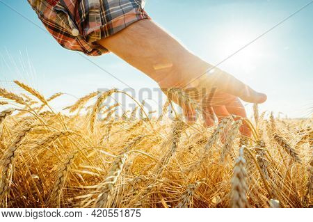 The Hand Touches The Ears Of Barley. Farmer In A Wheat Field. Rich Harvest Concept