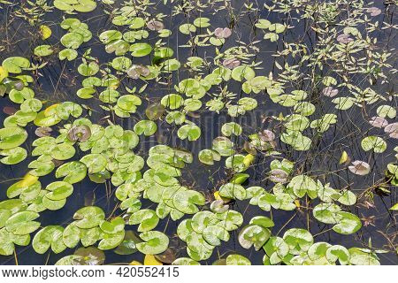 Wetland. Background Of Leaves Of Water-lily ( Nuphar Lutea ).  Montenegro, National Park Skadar Lake