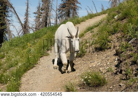Cautious Mountain Goat Coming Down Hiking Trail In Glacier