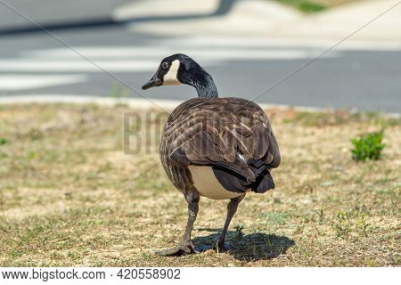 Canadian Gray Goose Grazing In The Wild