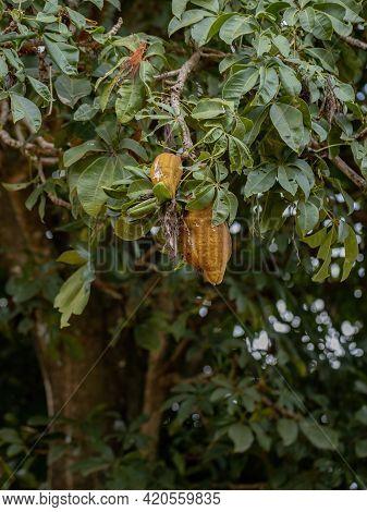 Brazilian Provision Tree