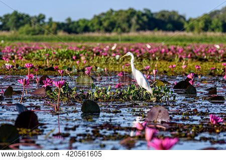 Eastern Cattle Egret In Wetlands Thale Noi Non-hunting Area, The Largest Water Birds Park Of Thailan