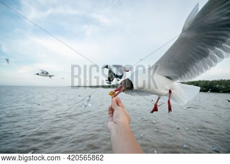 Man Hand Feeding Seagull Bird.  Seagull  Flying To Eat Food From Hand.