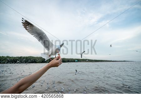 Woman Hand Feeding Seagull Bird.  Seagull  Flying To Eat Food From Hand.
