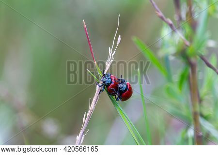 Two Red Ladybug Mate On Stem. Spring Czech Nature, Love Background