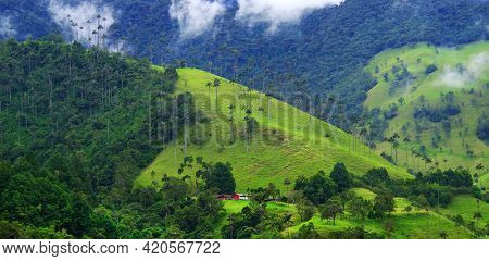 Scenic landscape of tall wax palm trees in Cocora Valley, Salento,Quindio, Colombia, South America