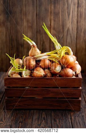 A Pile Of Organic Onions With Green Sprouts On Dark Background. Old Onion With Roots And Green Arrow