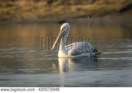 Dalmatian Pelican Or Pelecanus Crispus Portrait With Reflection In Water At Keoladeo National Park B