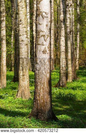 Trunks Of Birches In A Dense Birch Grove In Spring. Forest Landscape