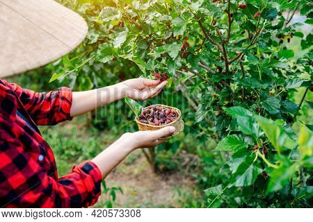 Close-up Agriculture Or Farmers Harvest Fresh Mulberry, Black Ripe And Red Unripe Mulberries On The