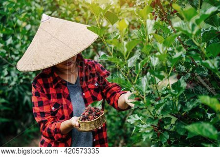 Agriculture Or Farmers Harvest Fresh Mulberry, Black Ripe And Red Unripe Mulberries On The Branch Of