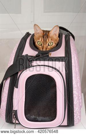 Bengal Cat Peeking Out Of A Carrier Bag, Vertical Shot