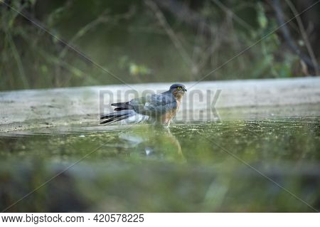 Eurasian Or Northern Sparrowhawk Closeup With Reflection In Water At Waterhole For Quenching Thirst