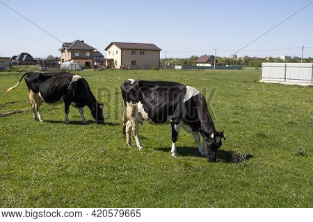Two Black And White Cow On A Summer Pasture Eats A Grass.