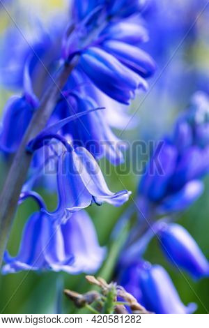A Portrait Of A Wild Hyacinth, Also Known As A Common Bluebell Flower, In A Garden On A Moody Day. T