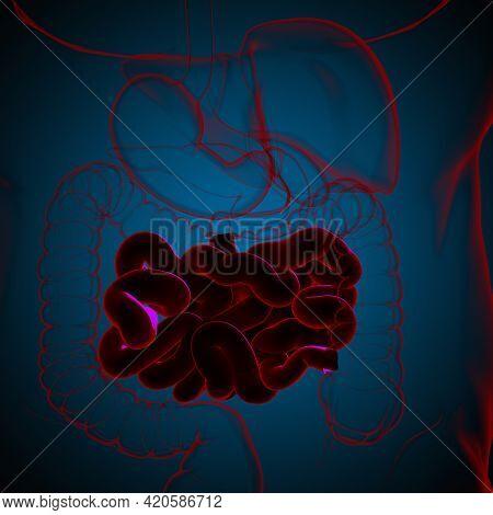 Small Intestine 3D Illustration Human Digestive System Anatomy